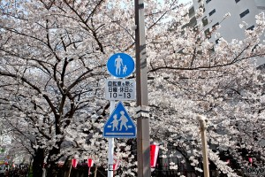 Cherry Blossoms in Nakameguro Tokyo