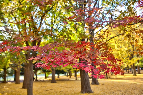 Colorful Fall Leaves in Tokyo Japan (23)