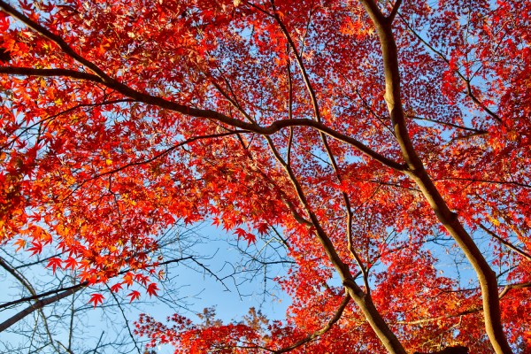 Colorful Fall Leaves in Tokyo Japan (21)