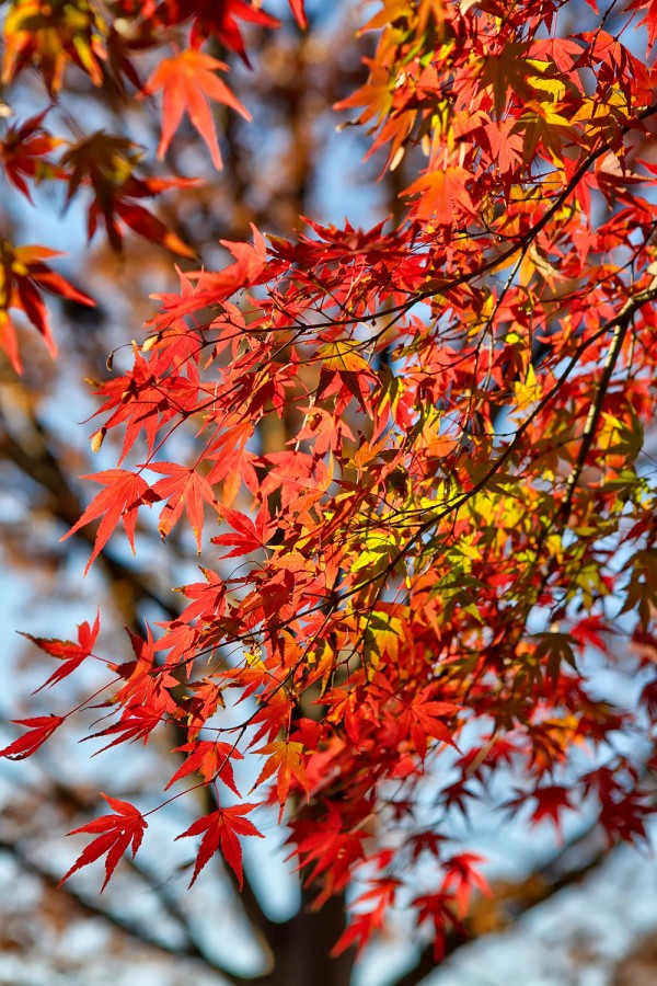 Colorful Fall Leaves in Tokyo Japan (18)