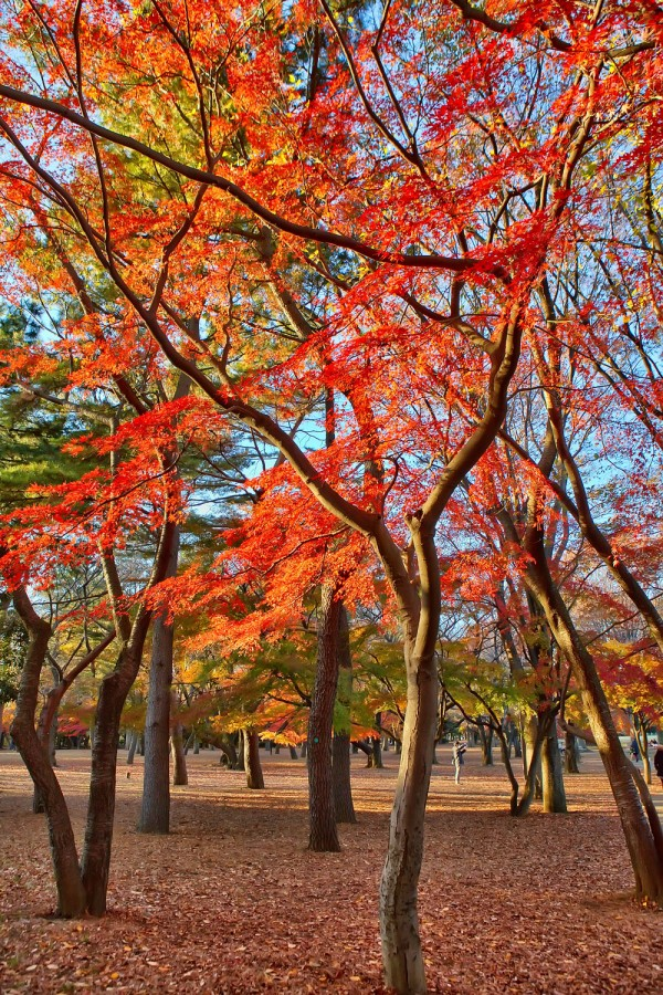 Colorful Fall Leaves in Tokyo Japan (17)