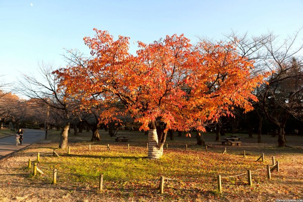 Colorful Fall Leaves in Tokyo Japan (15)