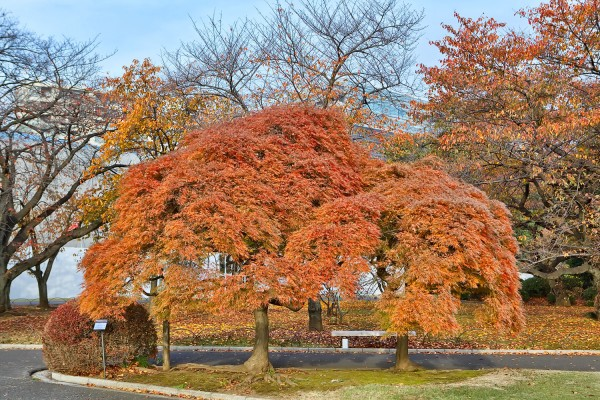 Colorful Fall Leaves in Tokyo Japan (9)