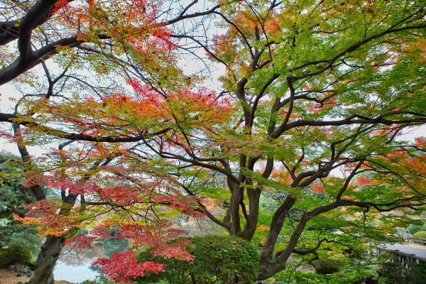 Colorful Fall Leaves in Tokyo Japan (6)